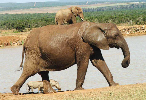 חג שבועות - קלף הפיל