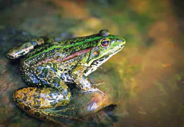 קלף הצפרדע