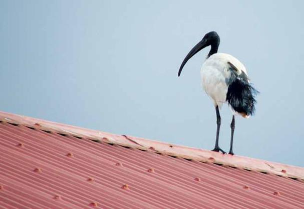 החנוכיה שלי – קלף ציפור המגלן על הגג